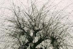No title (biancarosa.looman) Tags: analog handheld doubleexposure tree canon fujifilm