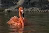 Kuba Flamingo (marionB-fotografie) Tags: tier tiere animal animals vogel vögel bird flamingo nikon d7100 tierparkberlin