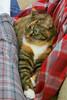 Gracie 21 December 2017 8097Ri 4x6 (edgarandron - Busy!) Tags: cat cats kitty kitties tabby tabbies cute feline gracie patchedtabby
