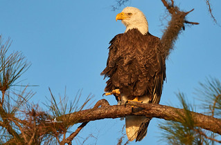 Female Bald Eagle getting a reprieve from sitting on eggs