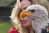 Weißkopfseeadler (norbert.kiel) Tags: see seeadler weiskopfseeadler greifvogel raubvogel vogel gefieder fliegen luft königderluft königderlüfte adler gelb orange weis