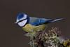 048.jpg (Kico Lopez) Tags: miño lugo aves feeder rio herrerillocomún birds cyanistescaeruleus galicia spain