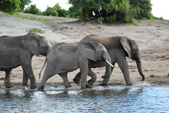 IMG_2652 (thesilvercollection) Tags: chobe river cruise kasane december botswana wildlife road trip elephant water animal nature tusk young riverbank elephants moving running herd trunk travel