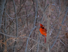 Cardinal In Thick Woods (Joe Rito) Tags: cardinal woods nikkor manuallens bokeh red peaceful