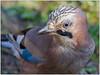 Ghiandaia (fausto.deseri) Tags: jay garrulusglandarius ghiandaia wildlife nature birds wildanimals nikond7100 nikkor300mmf28afsii nikontc17eii faustodeseri