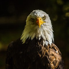 Are you looking at me? (andymulhearn) Tags: eos7d canon canonef70200mmf4lusm hawkconservancytust flickrbirds