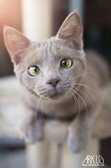 Phénix (Ark. Us.) Tags: cute portrait cat kitty kitten feline pet cinnamon eyes crosseyed whiskers