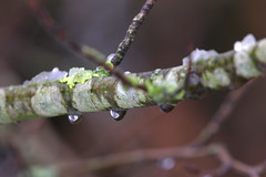 crying branch (herman hengelo) Tags: winter droplets ice smeltwater meltingwater birch branch berkentak hengelo thenetherlands