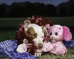 3265 Dolly with her Toys (greyhound rick) Tags: portrait dogportrait petportrait dogadoption phoenix arizona phoenixarizona park outdoors friend pitbullmix nikon nikkor strobist photoshop lightroom pocketwizard garyfonglightsphere