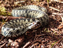 Adder (Peanut1371) Tags: adder snake reptile cannockchase nationalgeographicwildlife