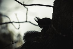 Silhouette (A blond-Tess) Tags: 365days 365photochallenge 365challenge squirrel redsquirrel silhouette nature naturephotography backlight fauna park wildlife wildlifephotography natur animal