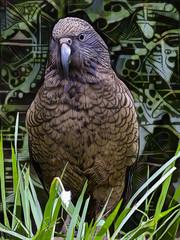 The New Zealand Kea (Steve Taylor (Photography)) Tags: kea bird art digital black brown green mauve newzealand nz southisland canterbury christchurch grass design graphic