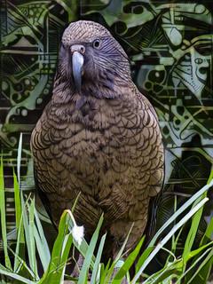 The New Zealand Kea
