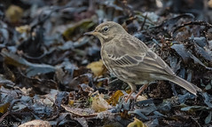 Rock Pipit foraging in the kelp at low tide. (steve.gombocz) Tags: nikon nikonusers nikond810 nikoneurope nikoncamera nikon500mmf40 nikonfx avian uccello oiseau vogel ave pajaro flickraddict birdphotograph birdphotography outdoor animal out outandabout nature wildlife wildlifewatch naturewatch wildlifephoto naturephoto wildlifephotograph naturephotograph wildlifephotography naturephotography wildlifepictures naturepictures winterwatch bbcwinterwatch tier animale flickrwildlife flickrnature wildbritain britishwildlife britishnature wildlifeuk bird birds ukbird pipit rockpipit birdwatch birdwatcher birdwatching naturewildlife uknatureandwildlife flickrbirds birdphotos birdpictures birdsightings explorewildlife explorenature explorebirds colour colours color colourmania nikkor