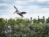 Pelican landing at Rookery (Ed Rosack) Tags: usa flight tree mangrove cloud bird brownpelican sky centralflorida newsmyrnabeach nature 21pelicans florida bif brpe cloudy pelecanusoccidentalis newsmrynabeach