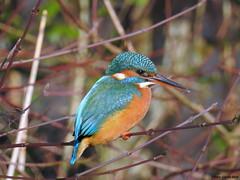 Common Kingfisher (Corine Bliek) Tags: bird birds vogel vogels natuur nature wildlife water stream sloot kingfisher wood alcedoatthis
