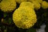 Yellow Chrysanthemum (CesareZucco) Tags: chrysanthemum crisantemo fiore flower nature natura beauty bellezza elegance eleganza yellow giallo petals petali corolla light sphere sfera luce nikon verde green