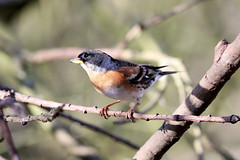 Winter Brambling (billywhiz07) Tags: bird uk finch winter visitor