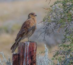 "Chimango Caracara (""DEB"") Tags: chimangocaracara d500 nikon200500mm argentina patagonia raptor birdofprey"