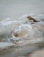 Look!  It's a . . . (Dr. Farnsworth) Tags: bird small arctic tundra breed migrate flock erratic muskegon mi michigan winter january2018