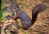 Red squirrel (peterwilson71) Tags: red squirrel wildlife woods eyes foliage grass green nature outdoors log