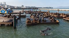 San Francisco Sea Lions (runcolt12) Tags: sanfrancisco sealions california californiacoast pacificocean fishermanswharf goldengatebridge ocean pier39 nikon d800e