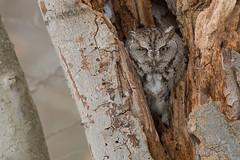 Er, ah, what have we here? (Earl Reinink) Tags: bird owl raptor animal winter snow landscape outdoors nature naturephotography earl reinink earlreinink niagara ontario eyes easternscreechowl tree woods forest edidadudza