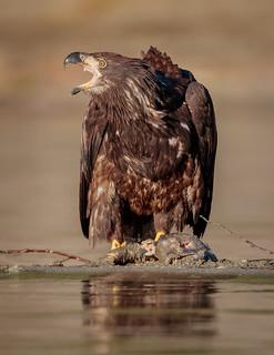 Juvenile Bald Eagle with a Salmon (Explored)