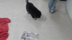 21314548_10213813939969630_456715259752864233_n (natedetienne) Tags: ash tibetan mastiff puppy tm