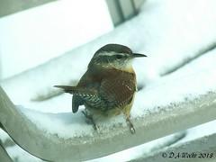 Carolina Wren (Picsnapper1212) Tags: carolinawren wren bird animal nature snow winter