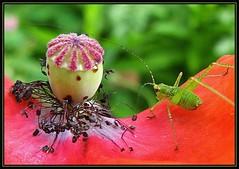 IMG_3916 It's Only Poppy Love 6-27-08 (arkansas traveler) Tags: bichos bugs insects katydidnympth flowers poppy macro macrolicious bokeh bokehlicious nature naturewatcher natureartphotography