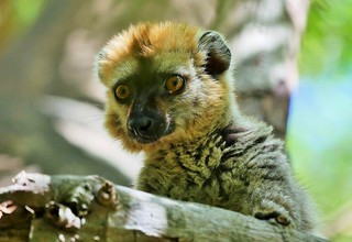 Red-fronted lemur Portrait (Eulemur rufifrons)