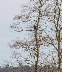 Eagle In A Tall Tree (John Kocijanski) Tags: eagle baldeagle tree wildlife bird animal nature canon70300mmllens canon7d birdofprey