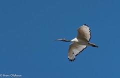 African Sacred Ibis (Threskiornis aethiopicus) (Hans Olofsson) Tags: africa bird fågel naturnature southafrica sydafrika westcoast africansacredibis threskiornisaethiopicus