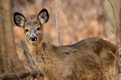Well, Hello (Eric Tischler) Tags: deer winter woods brown ohio