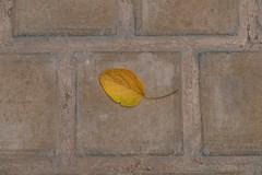 Autumn Notice (toletoletole (www.levold.de/photosphere)) Tags: fuji fujixpro2 isfahan xf18135mm esfahan autumn blatt herbst leaf