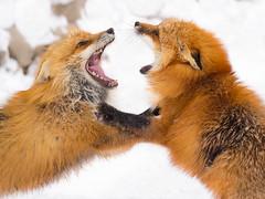 774818 (lottetoppo) Tags: olympus omd em1mark2 em1mkii 40150mm animal fox snow winter