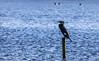 0T4A0640 (2) (Alinbidford) Tags: alancurtis alinbidford brandonmarsh wildbirds cormorant