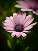 xx170527_017_africandaisies (dorothylee) Tags: flowers floral flower botanical garden nature color colour colorful colourful dorothyleephotography photography photo photograph pretty beauty beautiful dorothylee fresh daisies daisy africandaisy africandaisies