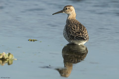 # Ruff............... (Prem K Dev) Tags: ruff beautiful bird black water wader wildlife wonderful reflection nature avian india sholinganallur sml subcontinent
