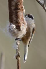 Penduline Tit (Mike J O Lewis) Tags: pendulinetit wildlife nature d3200 nikon gloucestershire plock court bird