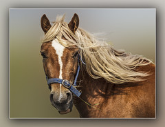 Caithness Pony.....Explored