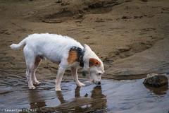 A Dog at the Beach (Samantha Decker) Tags: cannonbeach or oregon pnw pacificnorthwest samanthadecker tamronsp150600mmf563divcusd dog telephoto