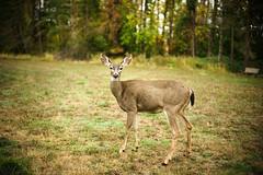 doe! (sebboh) Tags: sonya7kolariut cosinavoigtländer50mmf15noktonmmountversion deer doe wildlife portland oregon pdx bokeh forest