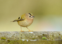 Goldcrest (George Findlay) Tags: goldcrest bird ayrshire nikon sigma