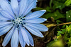 wildflower (Patrick Morrissey Photography) Tags: macro wildflower flower flowers garden blue sigma105mm new green color