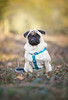 The Spring Pug (Chris M. S) Tags: mops hund dog ef 135mm 135mmf2 canon photography canonphoto tamron