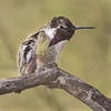 Costa's Hummingbird (Turk Images) Tags: calyptecostae costashummingbird saguaronationalparktucsonmountaindistrict arizona birds cohu desert hummingbirds trochilidae tucson winter male