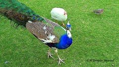 Peacock, White Guinea Fowl & The spotted dove (M.RISHAN SHAREEF) Tags: nature native earth garden blue birds peacock peafowl guineafowl dove pigeons pigeon forest family footpath green grass thenature white india srilanka wildlife