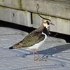 Lapwing (MJ Harbey) Tags: bird wildbird nikon d3300 nikond3300 vanellusvanellus lapwing peewit miltonkeynes willenlake buckinghamshire